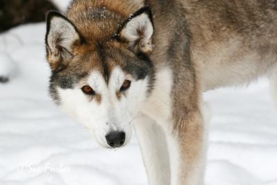 Alaskan Husky eyes The intensity of an Alaskan Huskies eyes, Boundary Waters, Minnesota
