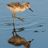 American Avocet chick at Palo Alto Baylands, California