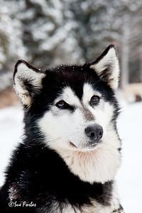 Alaskan Husky Maun, a lead Alaskan Husky sled dog in the Boundary Waters, Minnesota