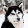 Alaskan Husky<br /> Maun, a lead Alaskan Husky sled dog in the Boundary Waters, Minnesota