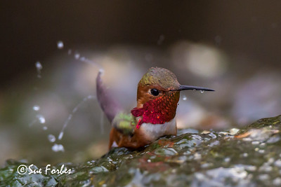 Allen's hummingbird bathing in a stream