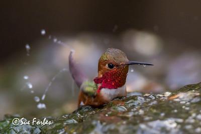 Allen's hummingbird bathing in a stream