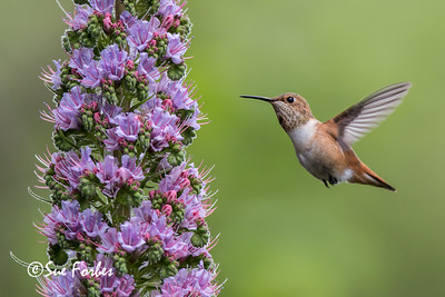 Allen's hummingbird feeding on a pride of Madeira plant