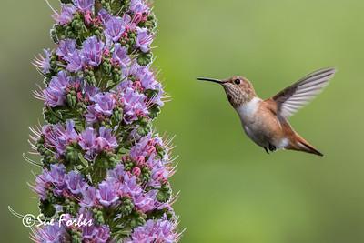 Allen's hummingbird feeding on a pride of Madeira plant
