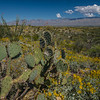 Landscape with prickly pear, brittlebush, and mountains