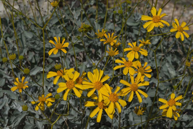 Golden brittlebush flowers