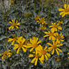Golden brittlebush flowers