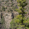 Pine above Walnut Canyon