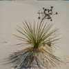 Yucca and sand in White Sands National Park, New Mexico