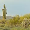 Salt River Cacti