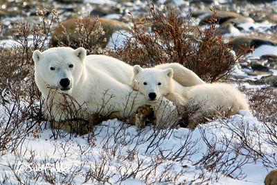 Mom & cub polar bear Mom and cub resting after nursing, Churchill, Canada