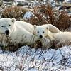 Mom & cub polar bear<br /> Mom and cub resting after nursing, Churchill, Canada