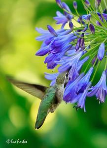 Anna's Hummingbird feeding Anna's Hummingbird getting nectar from a Lily of the Nile flower