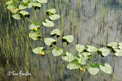 Lillies on a Pond Lillies on a pond wtih the reflection of the clouds by Seward Highway, Alaska