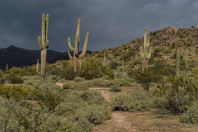 Sunlit saguaro cactus along a path through the desert