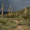Sunlit saguaro cactus along a path through the desert