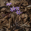 Hepatica in bloom