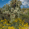 Blooming brittlebush surround a large cholla cactus