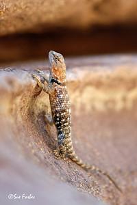 Desert Spiny Lizard Desert Spiny Lizard at Deer Creek, mile 136 of Colorado River through the Grand Canyon