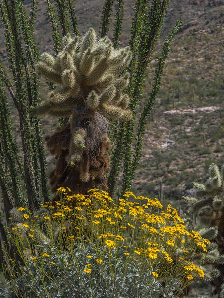 Cacti above brittlebush blossoms