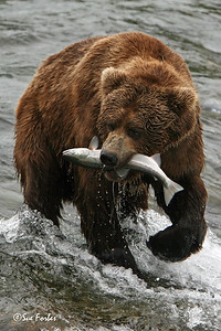 Grizzly Bear with his catch After catching this salmon the Grizzly Bear wondered into the forest to eat it before returning for his next dish.  Brooks River, Katmai, Alaska