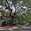 Live Oak tree