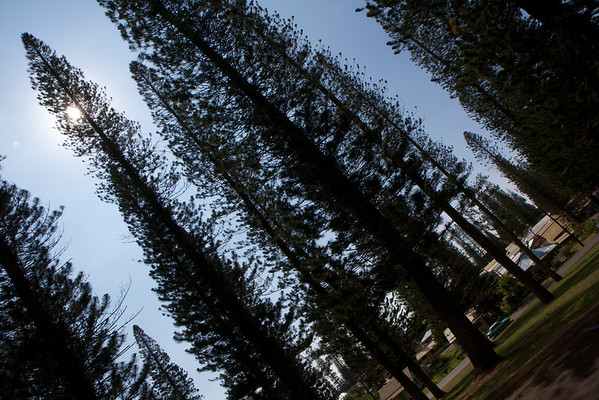 Cook Island Pines