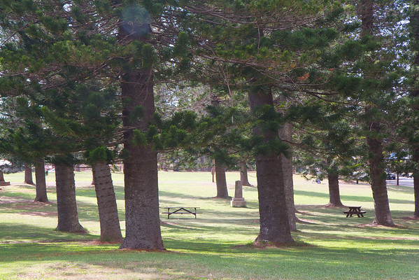 Cook Island Pines in Dole Park