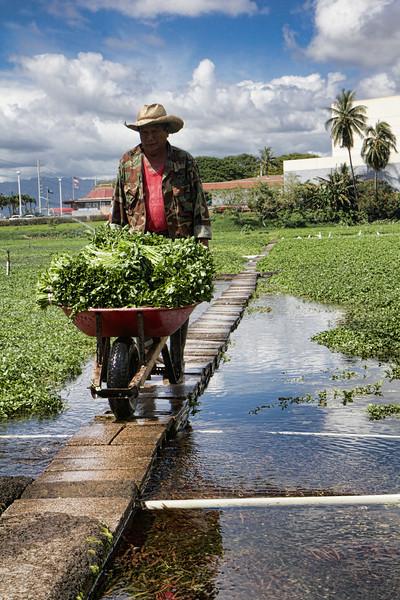 Sumida Watercress farm harvest