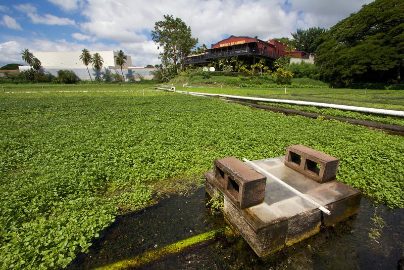 Sumida Watercress farm