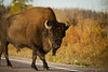 Buffalo, Fort Providence Area, Northwest Territories, Canada.