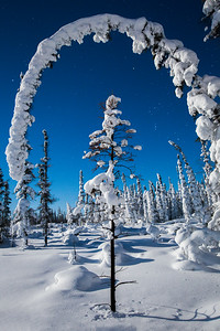 Snow covered trees below starry sky, Yellowknife.