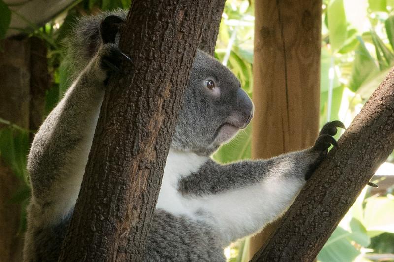 Kuranda, Australia - Koala Garden