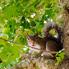 Bushy-Tailed Squirrel -- Guanacaste, Costa Rica
