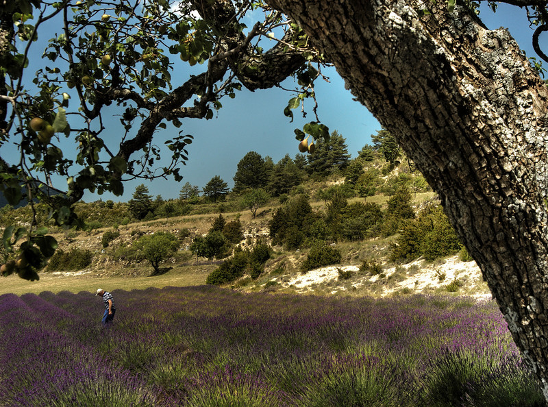 Farmer on his Lavender field.<br /> Provence, Southern France. 2003.