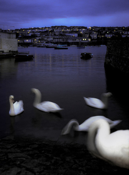 Swans at dusk,<br /> St Maws, Cornwall. England, 1999.
