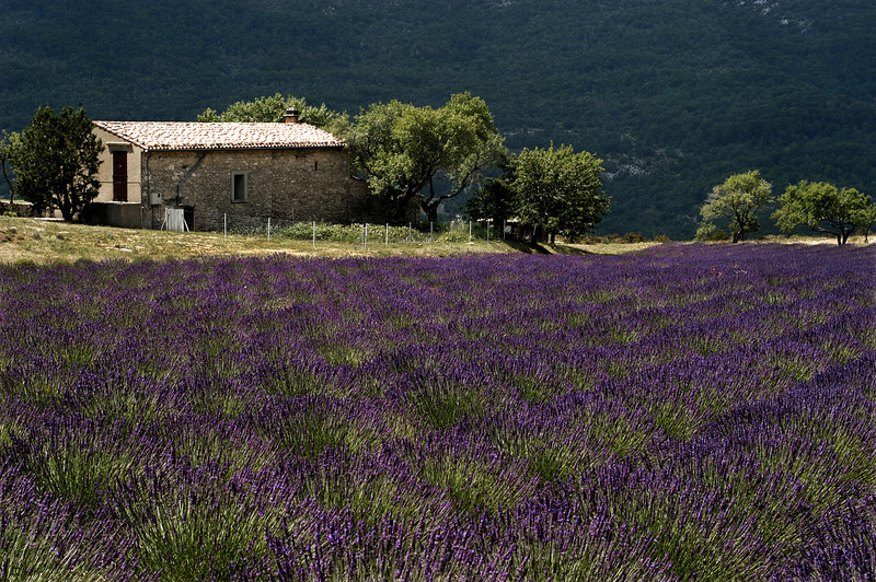 Farm on a Lavender field.<br /> Provence, Southern France. 2003