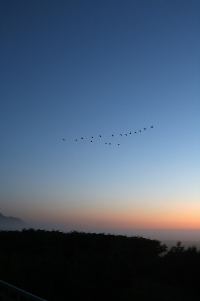 Geese!
