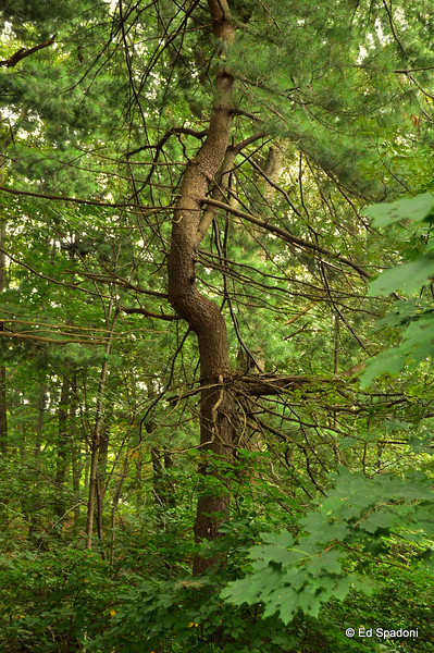 """""""Of all the wonders of nature, a tree in summer is perhaps the most remarkable; with the possible exception of a moose singing """"Embraceable You"""" in spats"""".  ~Woody Allen<br /> Pine Banks Park"""