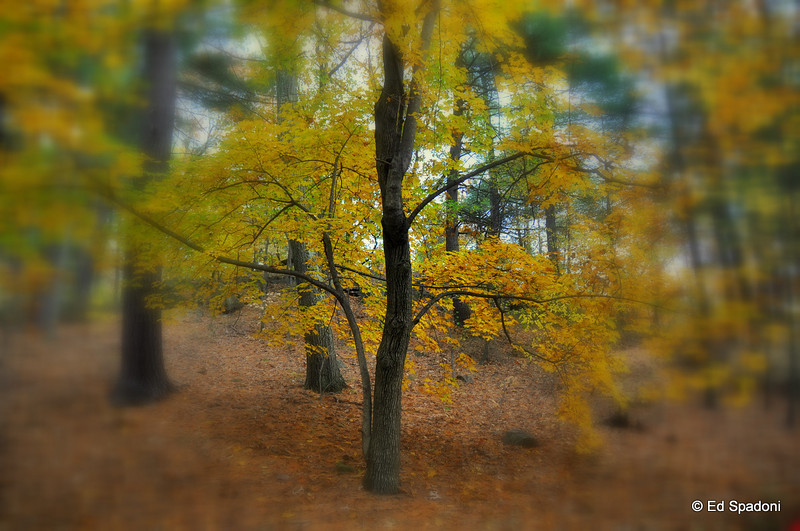 """""""I like trees because they seem more resigned to the way they have to live than other things do"""".  ~Willa Cather, 1913<br /> Pine Banks Park"""