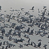 Greater White-fronted & Snow Geese