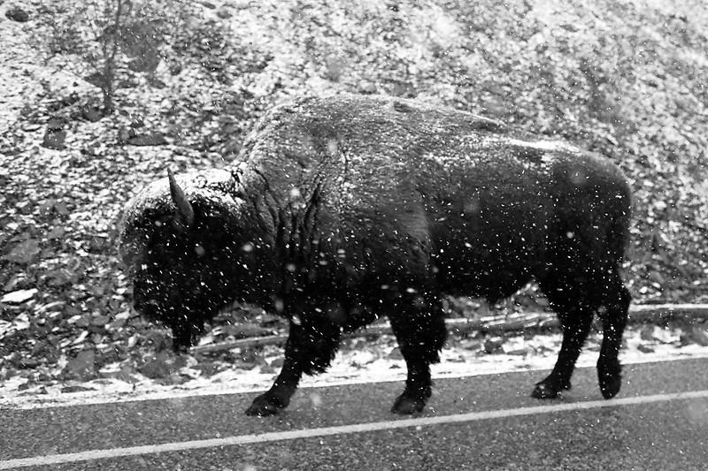 Bison! Yellowstone National Park, April 2013, taken with Kodak TMax film.