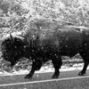 Bison! Yellowstone National Park, April 2013, taken with Kodak TMax film.