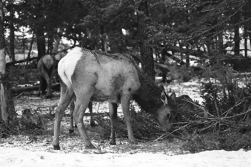 Elk, Yellowstone National Park, April 2013, taken with Kodak TMax film.
