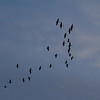 Sandhill cranes.  Simultaneously, they all stopped flapping their wings and were coasting when I took this shot.