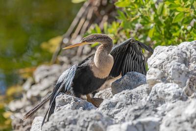 Anhinga at Ding Darling Wildlife Refuge on Sanibel Island Florida