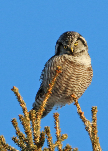 Northern Hawk Owl<br /> Duluth, MN