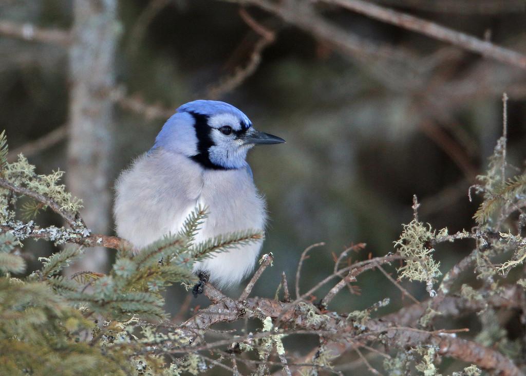 Blue Jay<br /> Sax-Zim Bog, MN