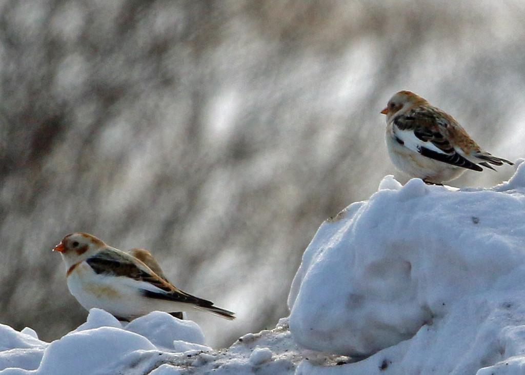 Snow Buntings<br /> Sax-Zim Bog, MN