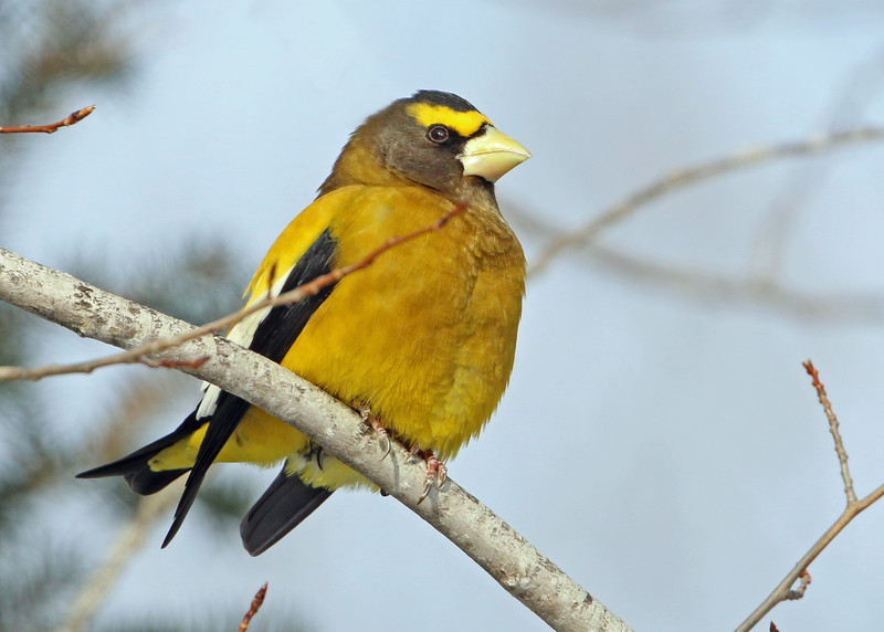 Evening Grosbeak<br /> Ely, MN